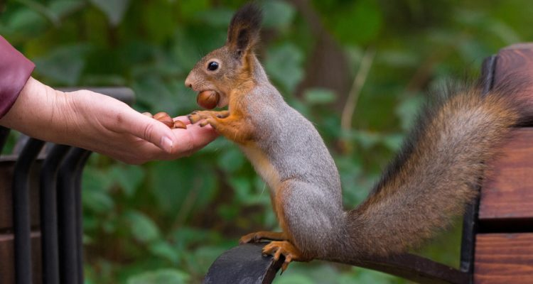 Squirrel Eating Nuts For Protein Recovery